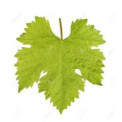 Vine leaves  : Anti-aging, Soothing and Restructuring