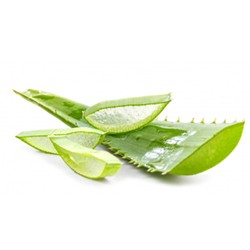 Aloe Vera leaves  : Healing, Moisturizing and Soothing