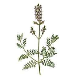 Essential Oil Lavender  : Relaxing, Anti-inflammatory and  rejuvenating