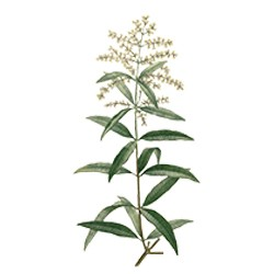 Essential Oil Verbena  : Refreshing,  Invigorating, softening and Relaxating